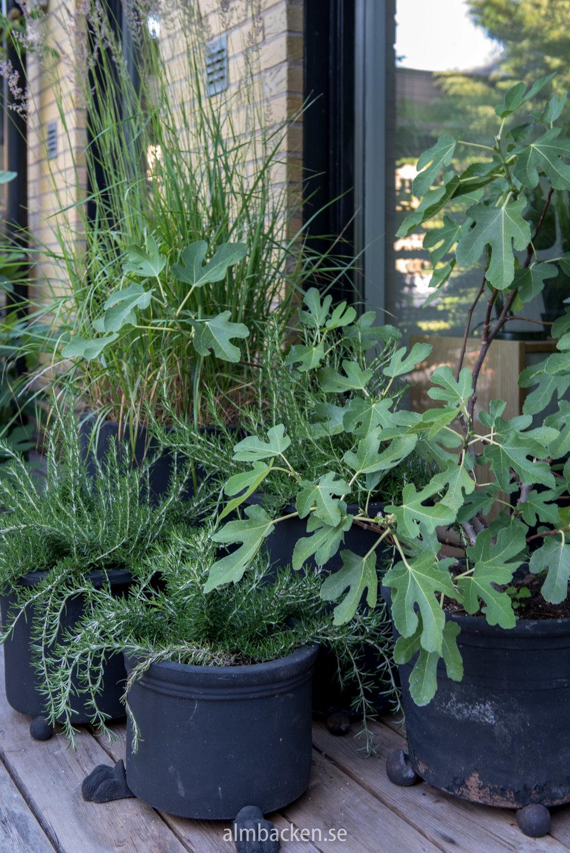 krukor-kryprosmarin-fikonträd.jpg