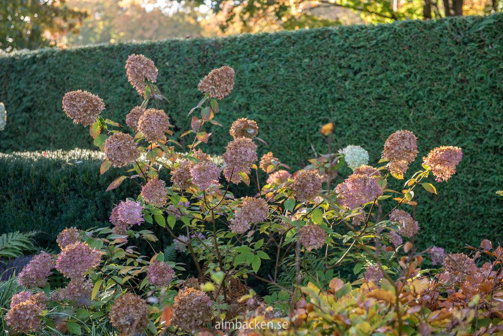 hortensia-limelight.jpg