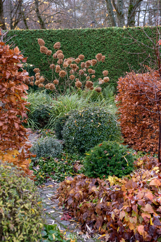 hortensia-limelight-almbacken-tradgardsdesign