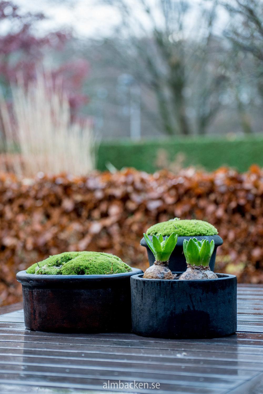 kuddmossa-hyacinter-krukor-almbacken-tradgardsdesign.jpg