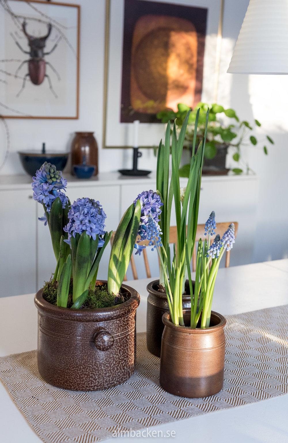 hyacinter-bla-parlhyacinter-hoganäskrus.jpg