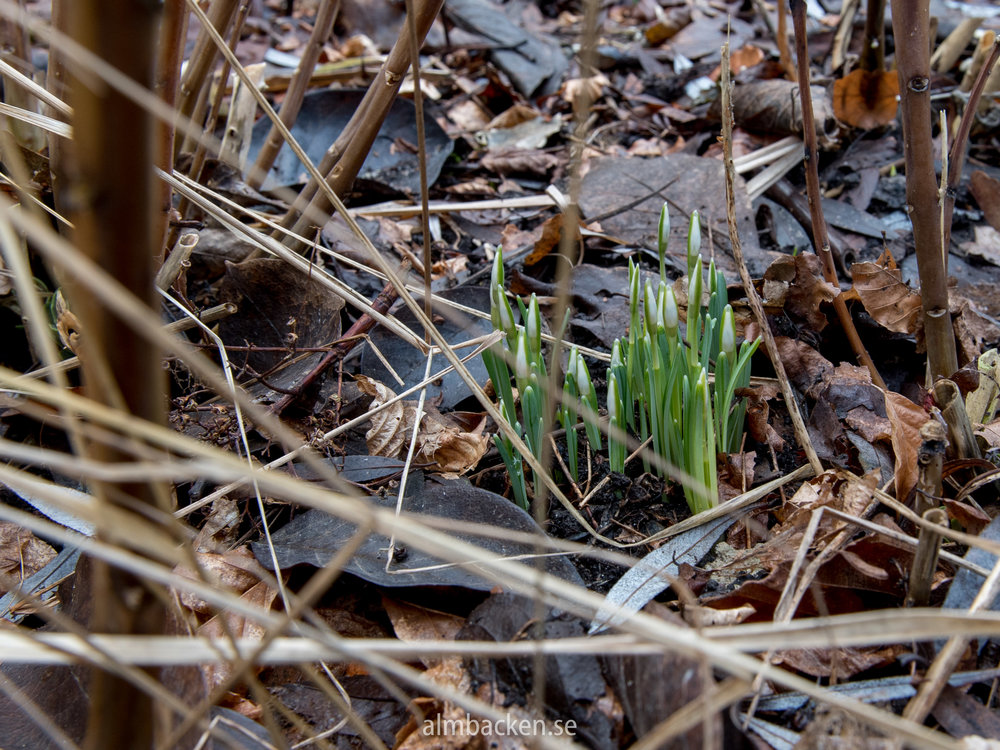snödroppar-galanthus-nivalis.jpg