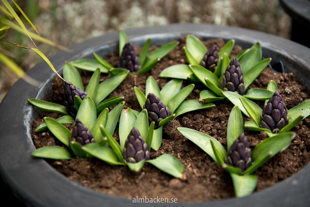 hyacint-pacific-ocean-almbacken-tradgardsdesign.jpg