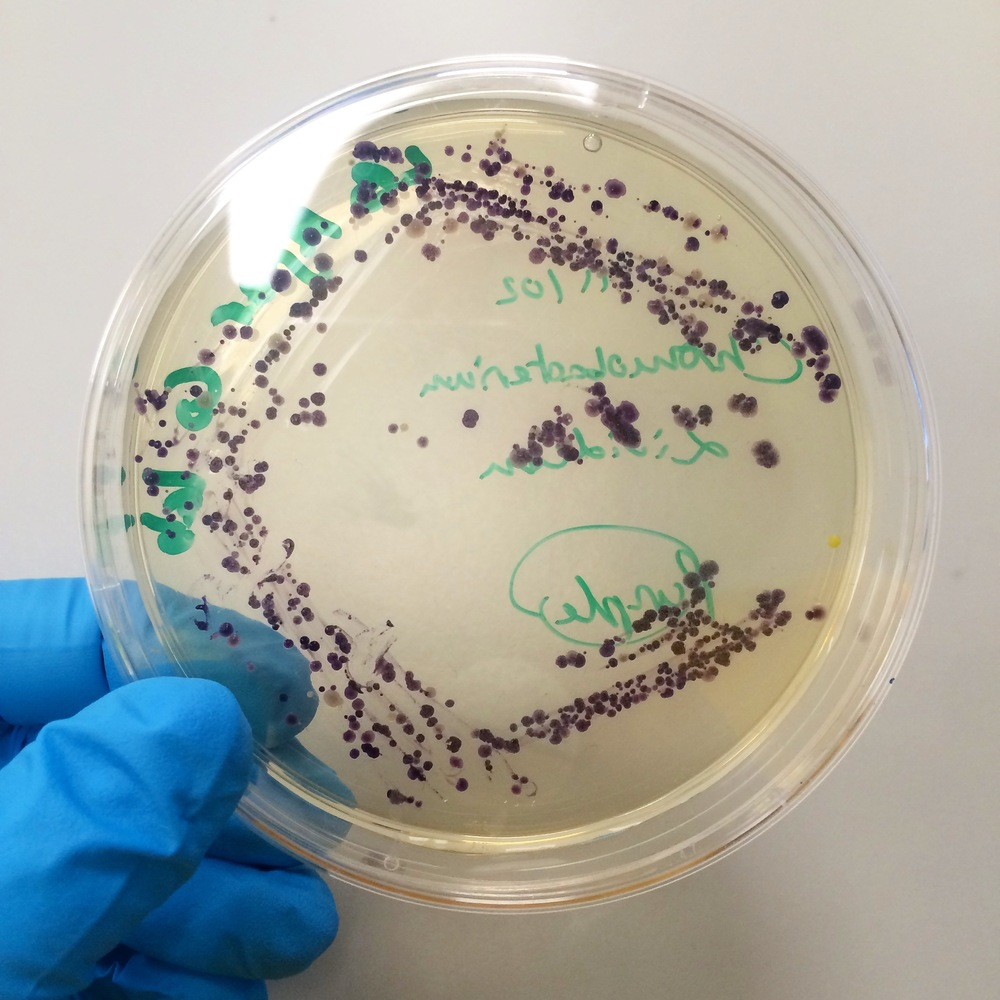 Indigo producing bacteria