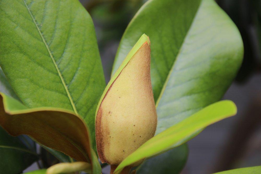 magnolia bud.jpg