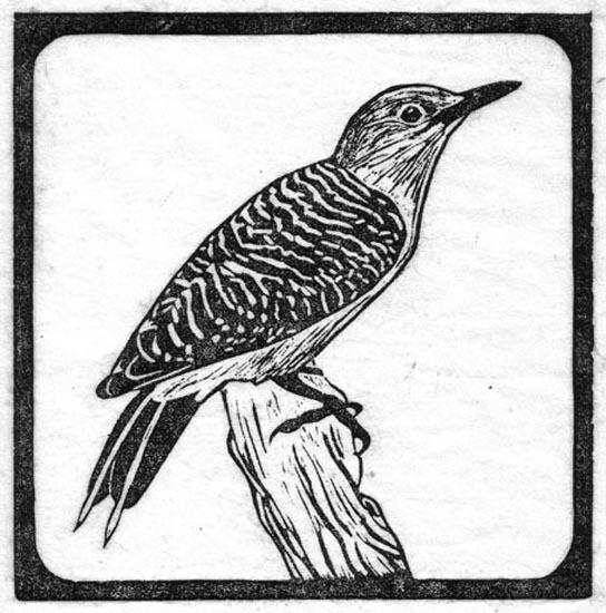 Woodpecker - Gold Fronted.jpg