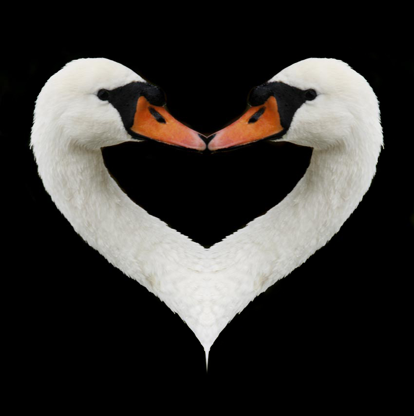 Ever thought a swans neck looks like half a heart? The more you look, the more you see.
