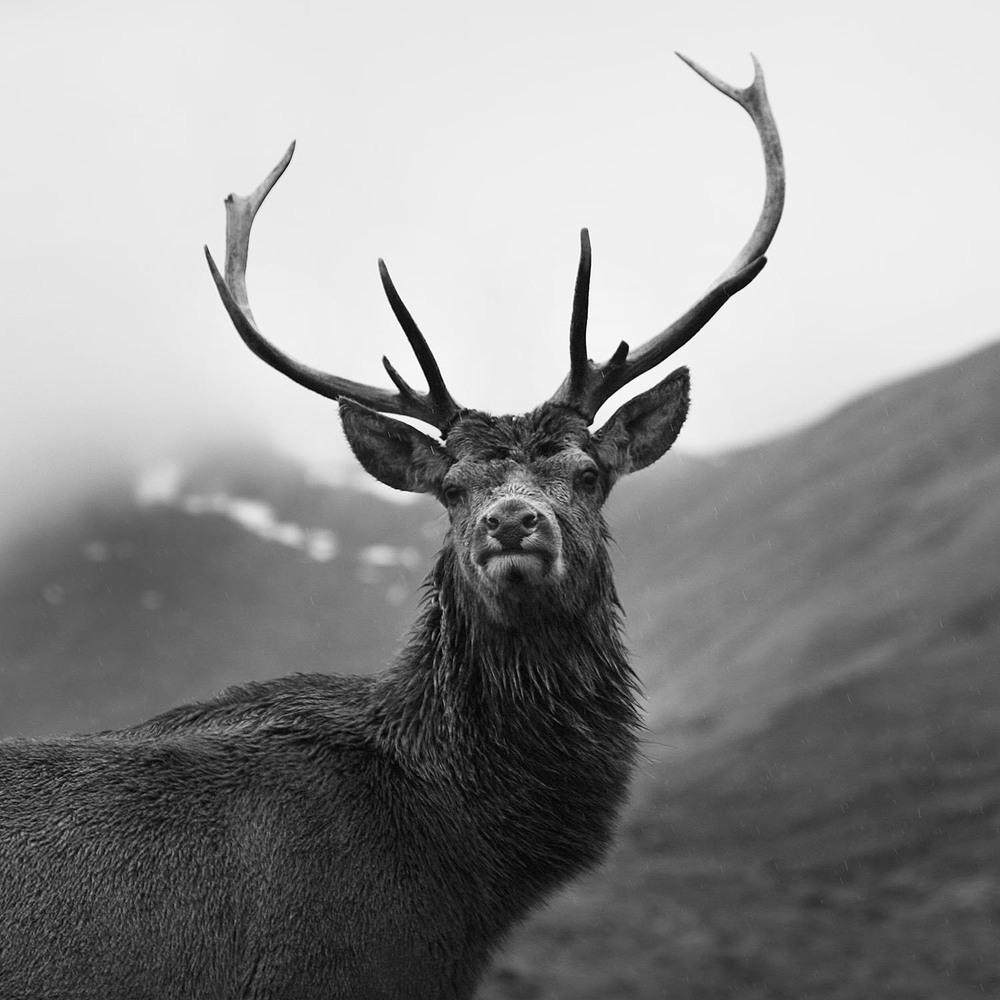 I was exceptionally lucky to have been able to get close enough to this majestic stag to look it in the eye and get this shot.