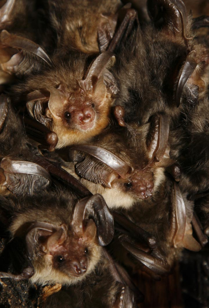 Brown Long Eared Bats - I was very fortunate to get the opportunity to photograph these amazing creatures.