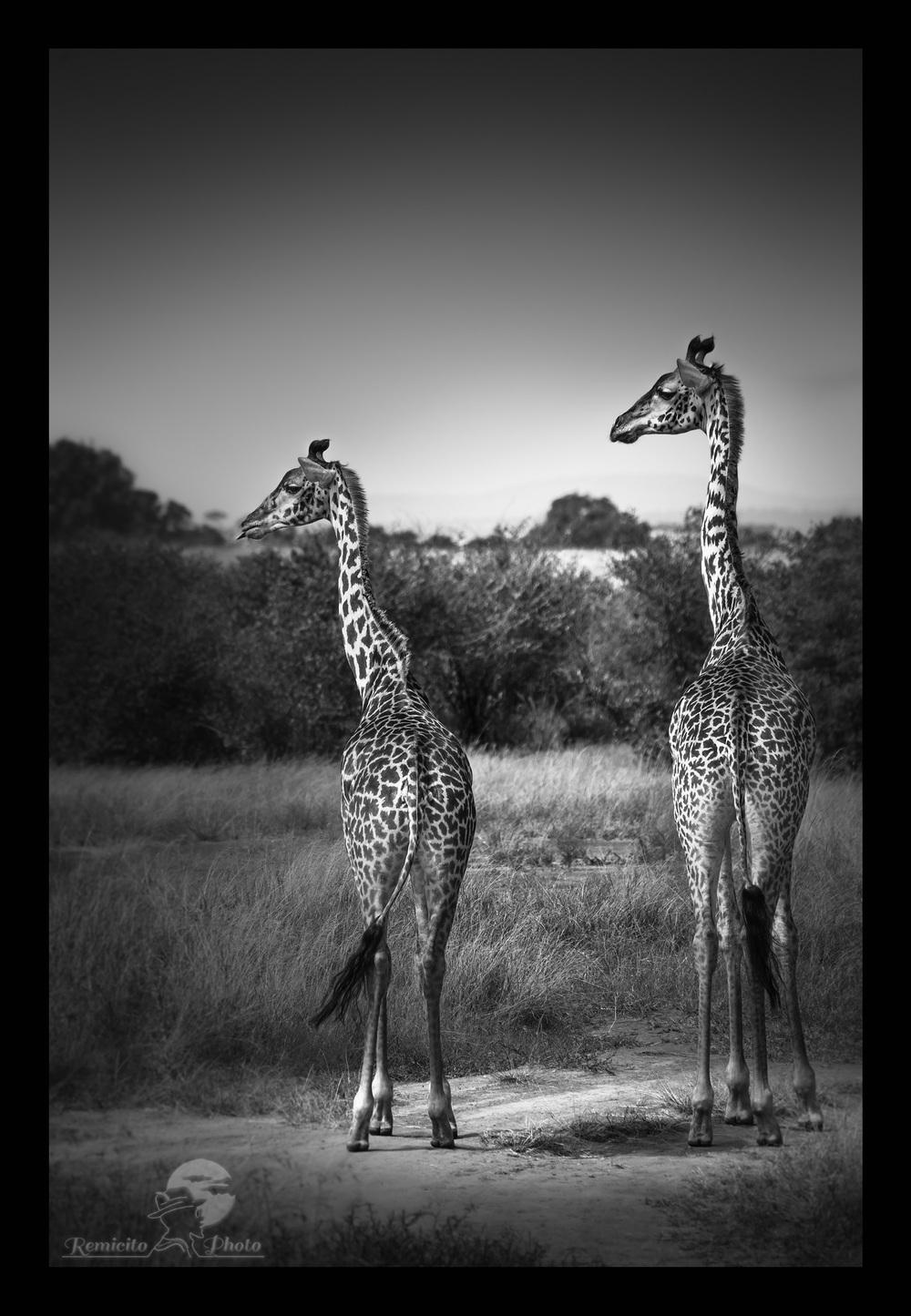 remicito photo 19-07-2016, July 19, 1çth July, 19 Juillet, 19 de Julio, photo savane, photo afrique, photo safari afrique, photo safari kenya, photo safari tanzanie, photo afrique noir et blanc, photo noir et blanc kenya, photo noir et blanc tanzanie, photo noir et blanc Masai mara, photo serengeti, photo voyage afrique, photo voyage kenya, photo voyage tanzanie, photo savane afrique, photo savane kenya, Photo savane tanzanie, belle photo afrique, acheter photo afrique, tirage photo afrique, acheter photo kenya, acheter photo tanzanie, tirage photo safari, jolie photo savane, offrir photo afrique, acheter photo girafe, cadeau photo noir et blanc  Giraffe Africa, black and white africa, black and white africa photo, kenya photograph, kenya savanna photo, tanzania photograph, kenya savanna photographs, tanzania savanna Photo, best africa shot, best africa photo, best giraffe shot, best giraffe photo, best giraffe photograph, buy photo africa, africa gift photo, giraffe gift photo, buy giraffe photo, buy africa giraffe photo,  foto blanco y negro, foto jirafa, foto africa regalo, comprar foto africa, offrecer foto africa, africa maravilla, africa linda, foto kenya, foto tanzania, jirafa africa, jirafa sabana, jirafa Kenya, jirafa Tanzania,  photo noir et blanc paysage, black and white photo, black and white photography, offrir photo noir et blanc, beautiful black and white photo, offrecer foto blanco y negro  photo décoration mur, photo décoration chambre, photo décoration toilettes, cadeau décoration, idée cadeau décoration, idée cadeau pour lui, idée cadeau pour elle, idée cadeau photo mariage, idée cadeau photo nouvel appart, idée cadeau photo nouvel appartement, idée cadeau photo nouvelle maison, idée cadeau photo décoration, idée cadeau originale, idée cadeau fête des pères, idée cadeau fête des mères, idée cadeau naissance, idée cadeau anniversaire, idée cadeau anniversaire homme, idée cadeau anniversaire femme, idée cadeau noël, idée cadeau noel, idée cadeau gra