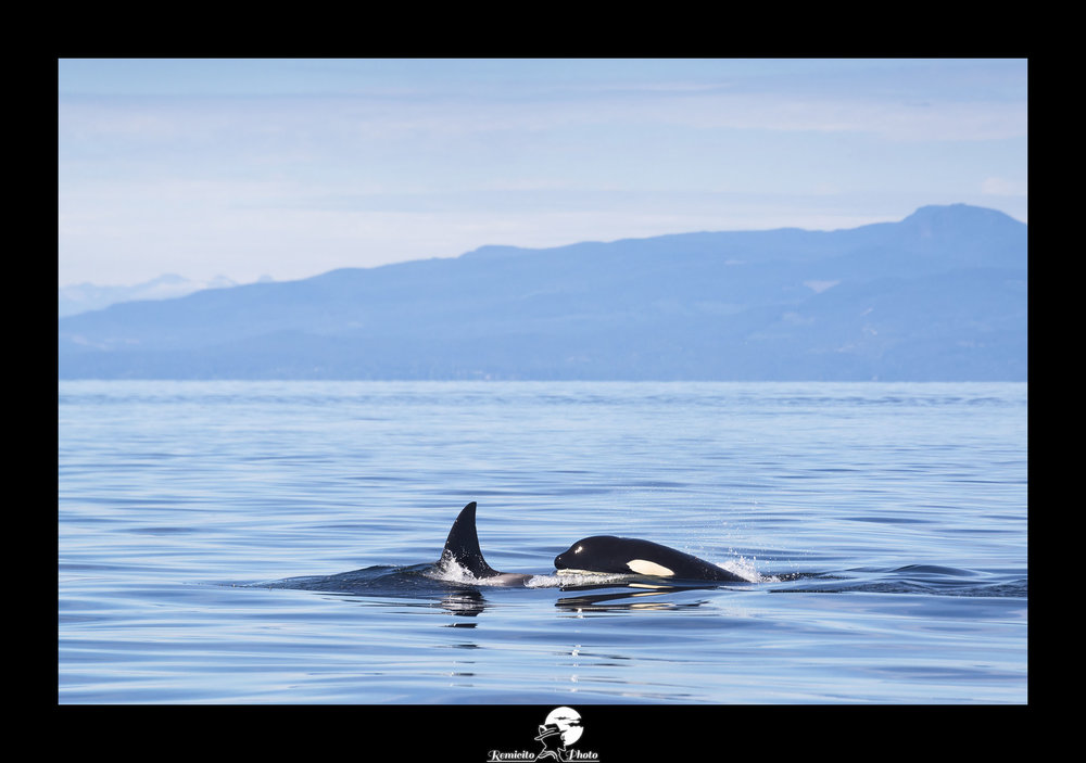 remicito photo, image du jour, photo du jour, photo of the day, whale watching canada, vancouver island whale watching, meilleur photographe français, best french photographer, idée cadeau, idée déco, orques canada photo
