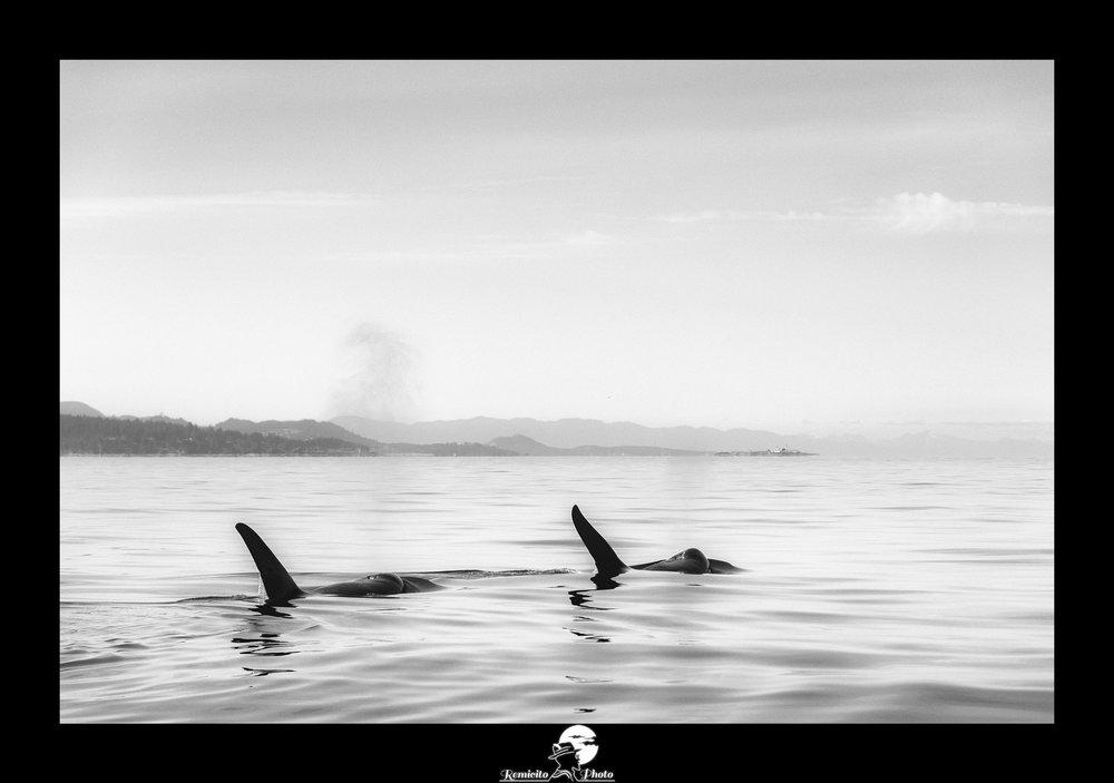 remicito photo, image du jour, photo du jour, photo of the day, photo orques noir et blanc, photo orque canada, killerwhale watching, photo noir et blanc mer, photo décoration, belle photo idée cadeau