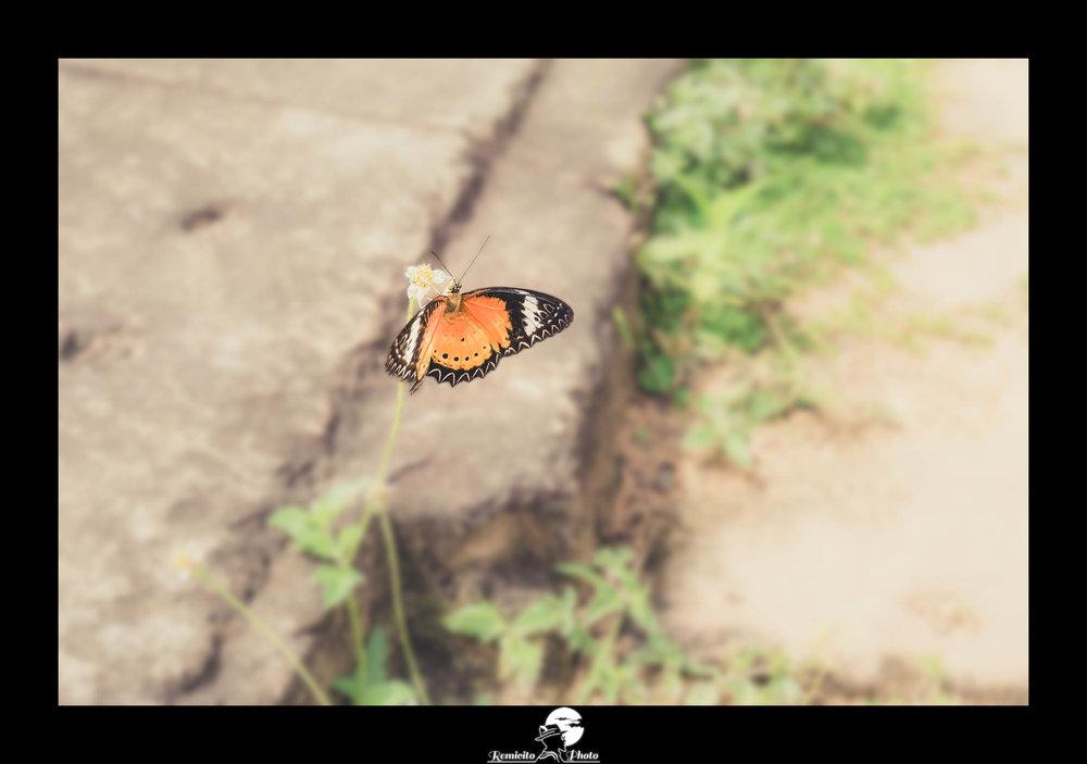 Remicito photo, remicito, image du jour, photo du jour, photo of the day, papillon thaïlande, belle photo papillon, butterfly photo, image butterfly wonderful, cute butterfly, papillon orange, belle photo idée cadeau