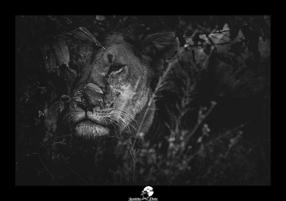remicito photo, remicito, image du jour, photo du jour, photo of the day, lion photograph black and white, photo lion noir et blanc, belle photo lion, photo lionne afrique, photo kenya lion noir et blanc, idée cadeau photo lion, belle photo lion noir et blanc