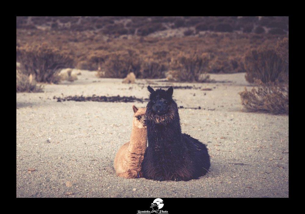 Remicito photo, image du jour, photo du jour, photo remicito photographe paris, photographe français voyage remicito, belle photo lamas, lamas bolivie national parc sajama, idée cadeau belle photo