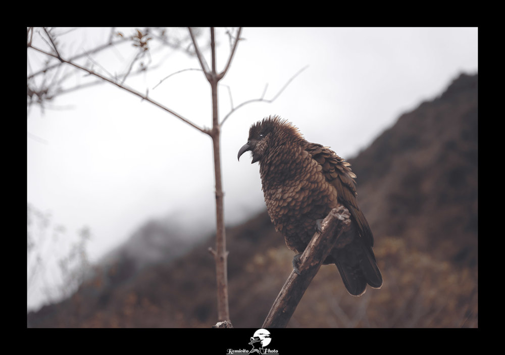 Remicito photo, remicito rémi lacombe photographe paris france, belle photo oiseau nouvelle zélande, idée cadeau photo oiseau