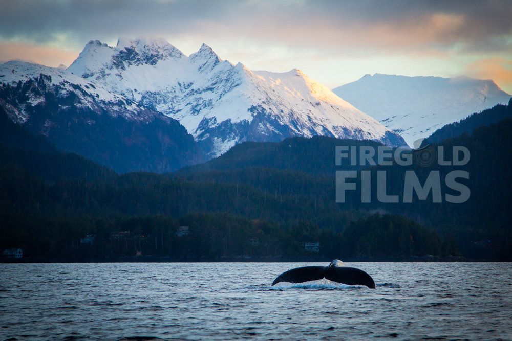 sitka-humpback-whale-dives