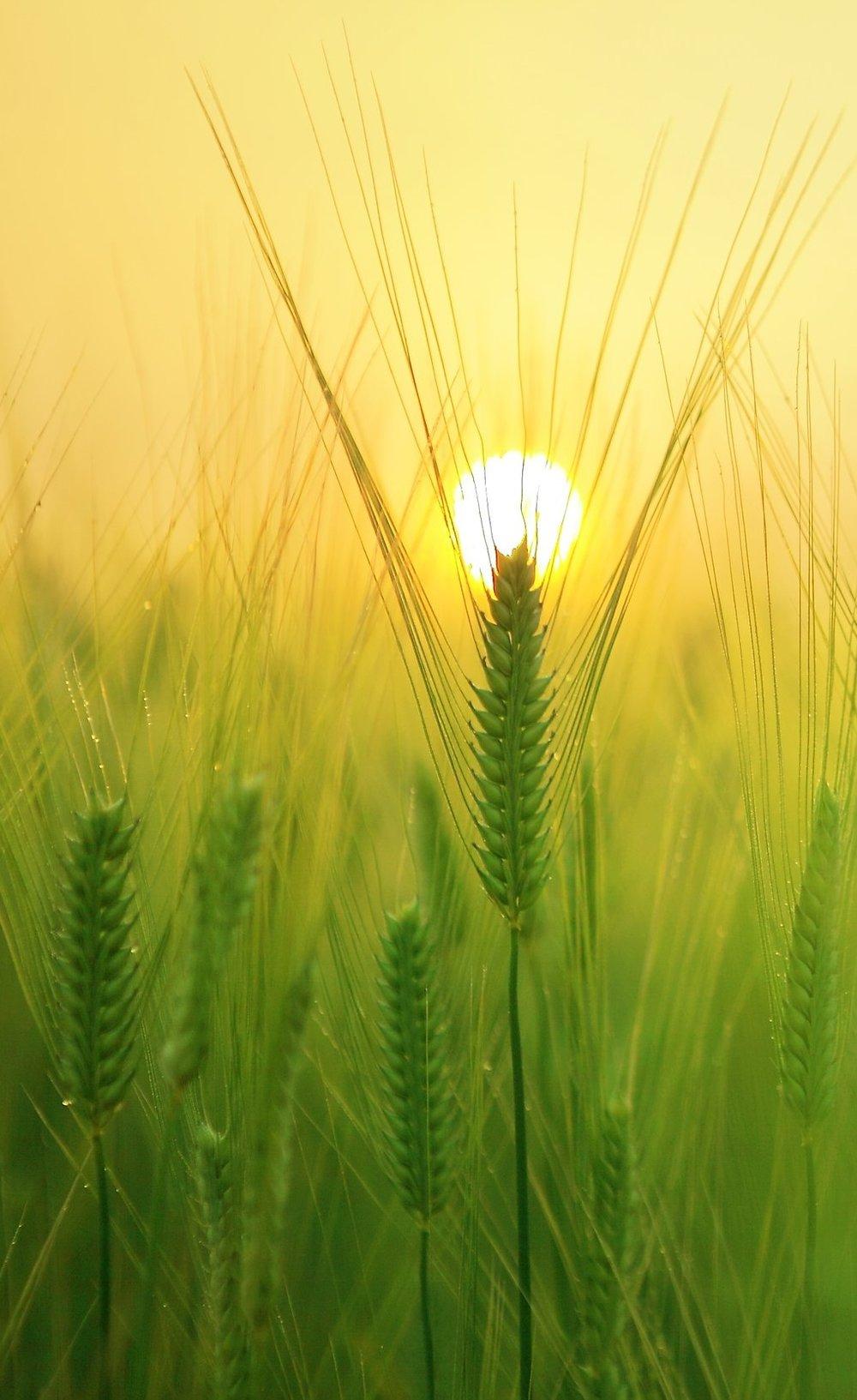 barley-field-1684052.jpg