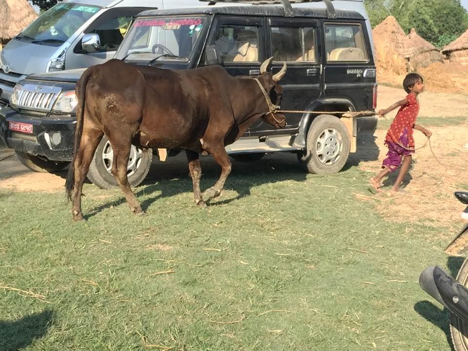 2016 Cow thruway.jpg