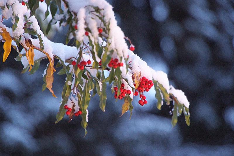 f_redberries.jpg