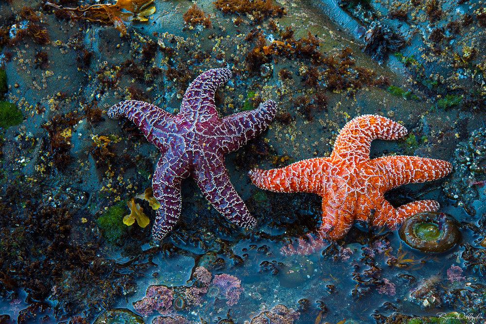 Sea Stars.jpg