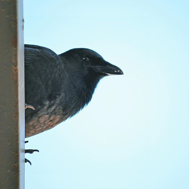 Give a crow a peanut and it will watch you all day like a creep from your neighbour's balcony... 👀 . . . #crowsofinstagram #shotfrombelow #birdlover #creepers