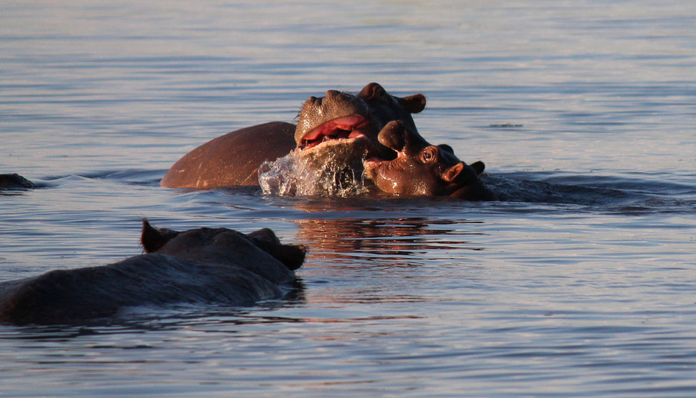 A baby hippo gets a rise out of his mother