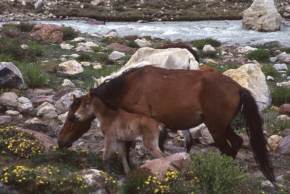 A colt in the Himalayas enjoys life before growing into a pack horse