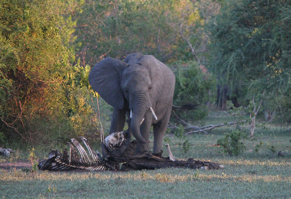 African elephant mourns a long-dead relative
