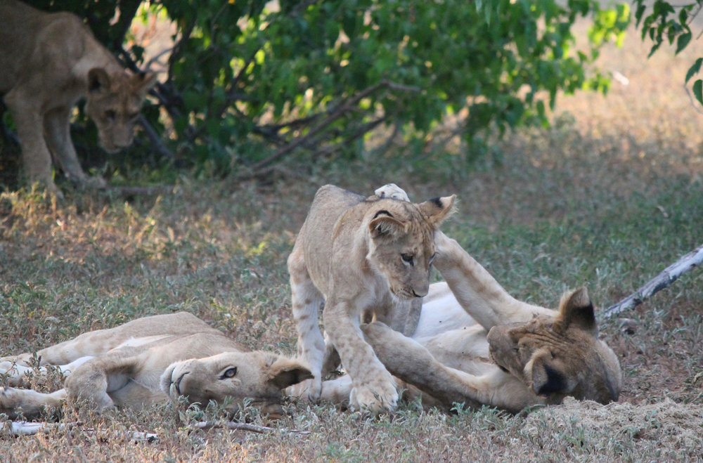 At rest, lions are usually touching each other