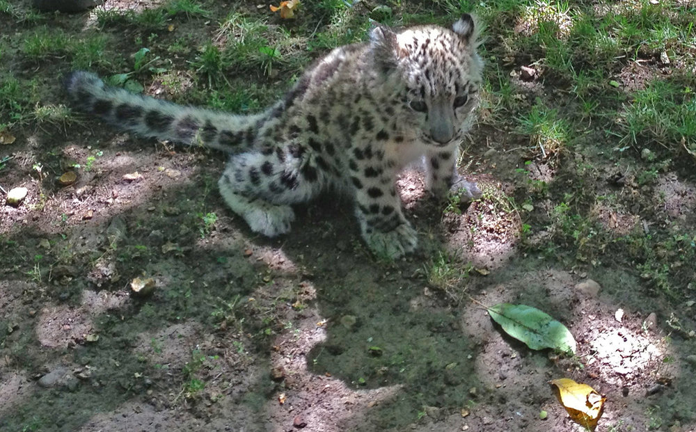 Baby Snow Leopard already has a knack for blending in