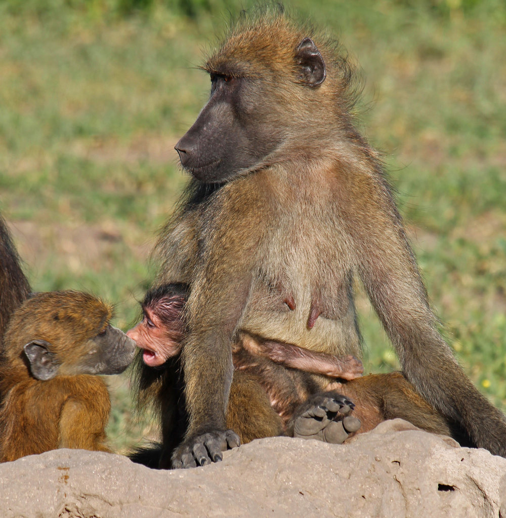 Days old baboon defends his food source