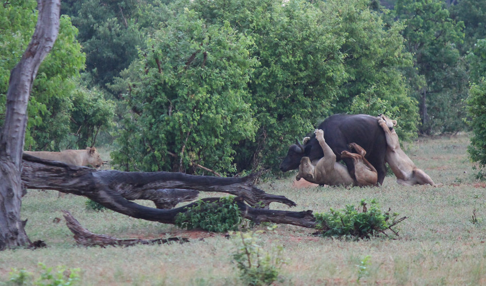 In spite of the odds, this Cape Buffalo walked away from the attack