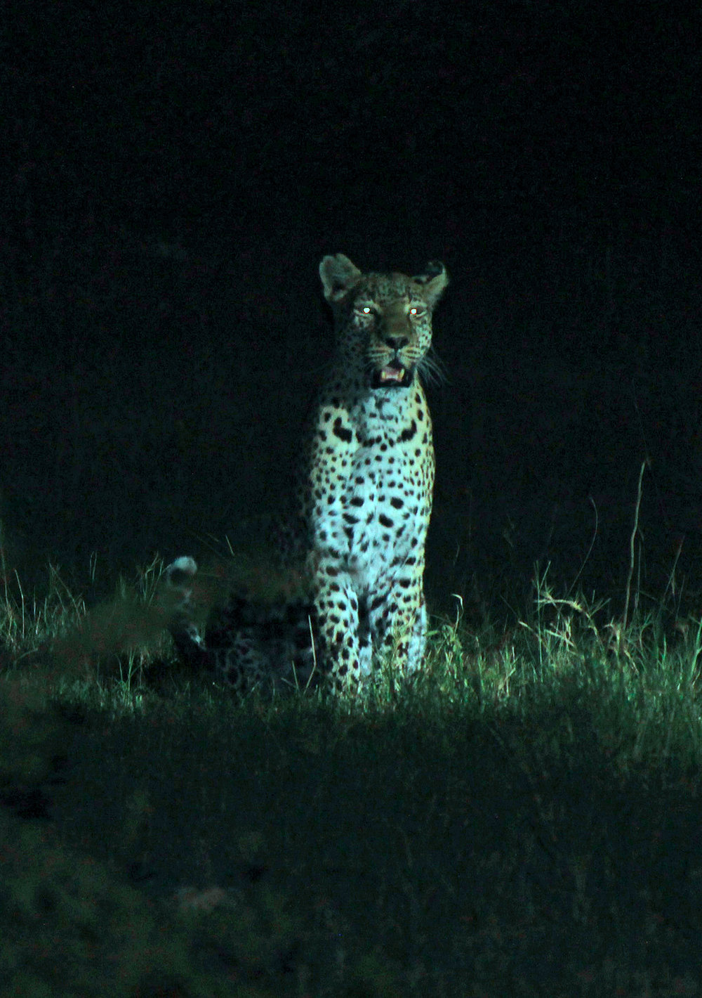 Leopard waits for scraps from a lion kill