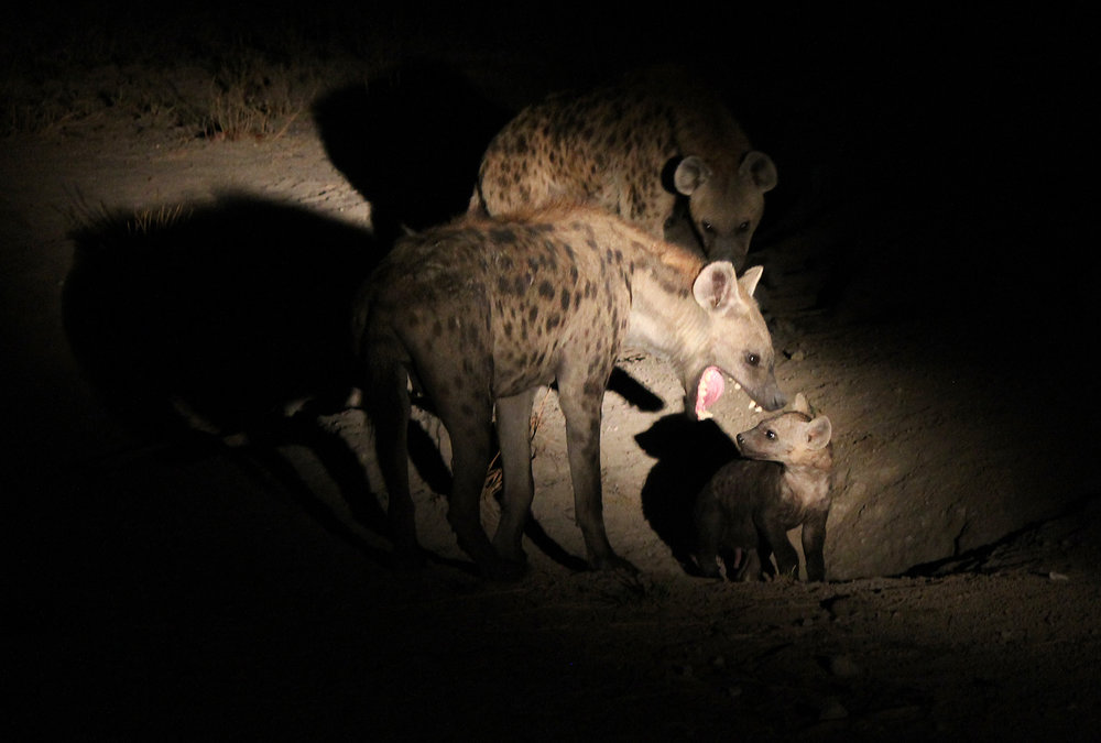 Mother hyena warns her baby to stay away from humans