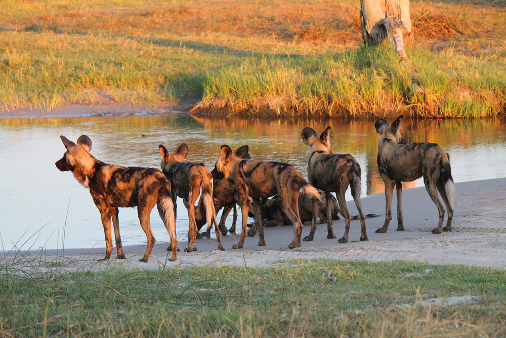 Painted dogs chasing prey are stopped short by a stream only four inches deep