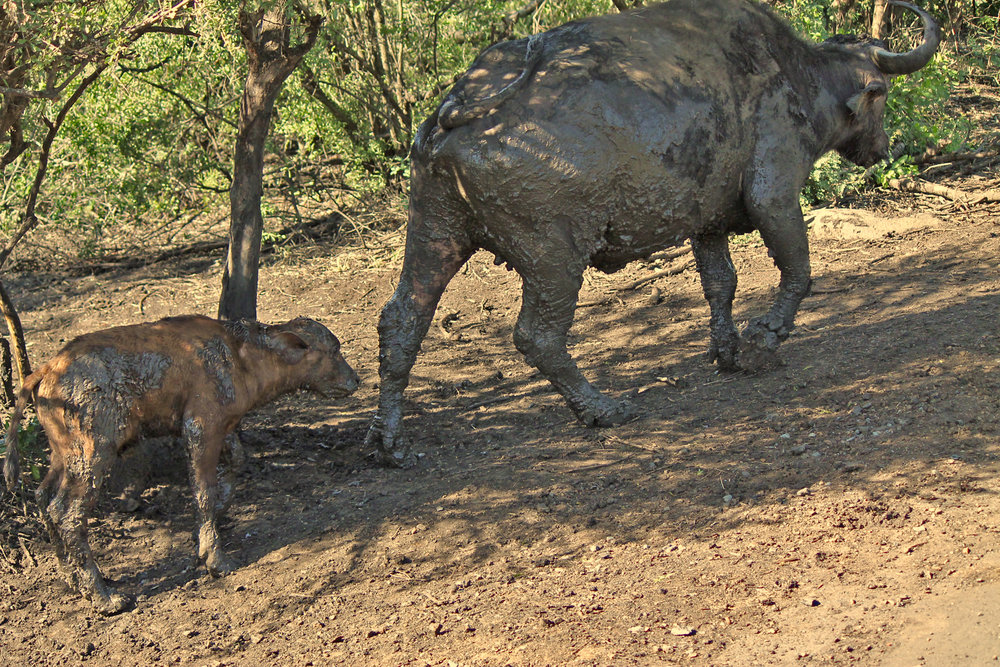 This young Cape Buffalo still has a lot to learn about getting muddy