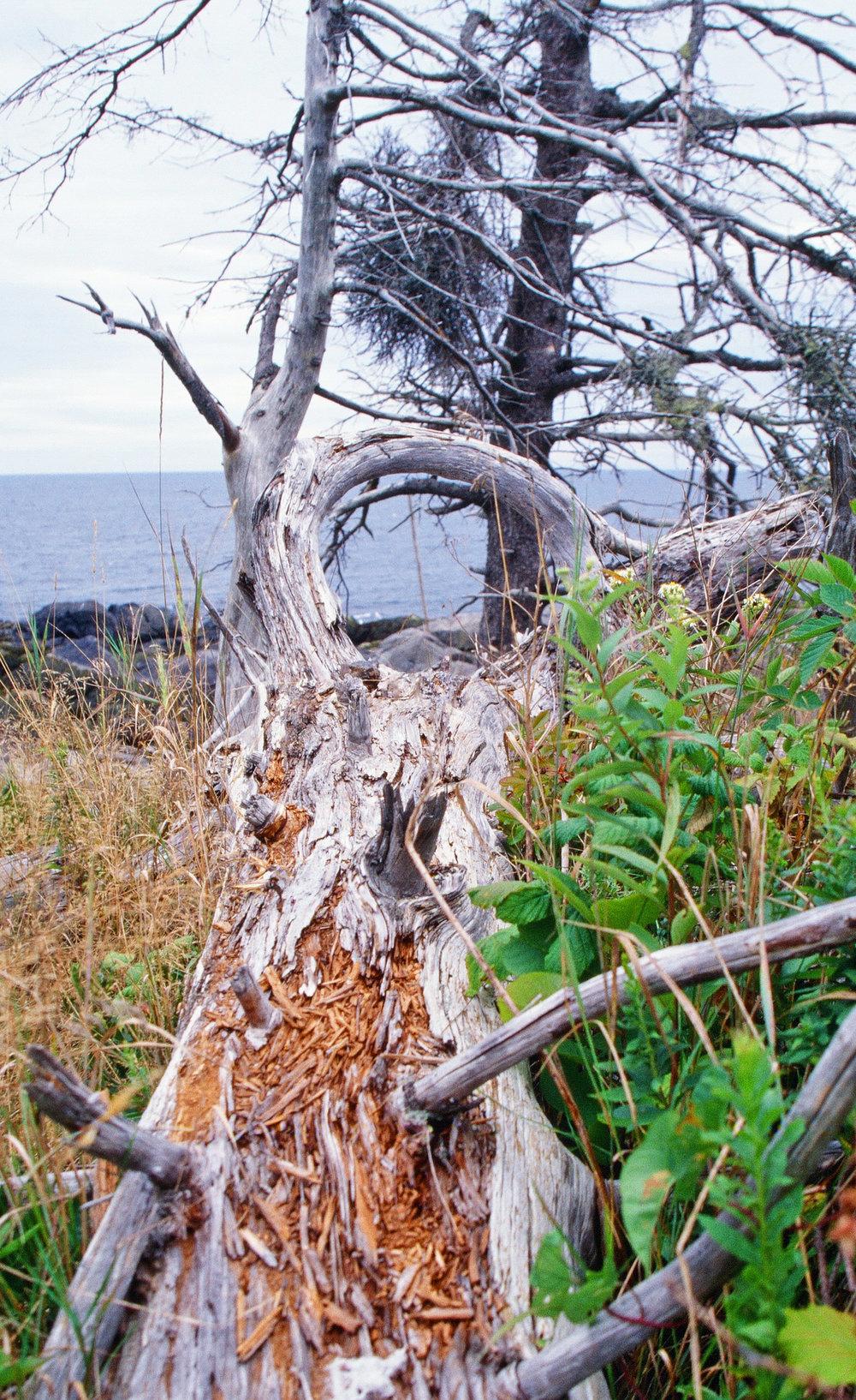 Maine coast driftwood