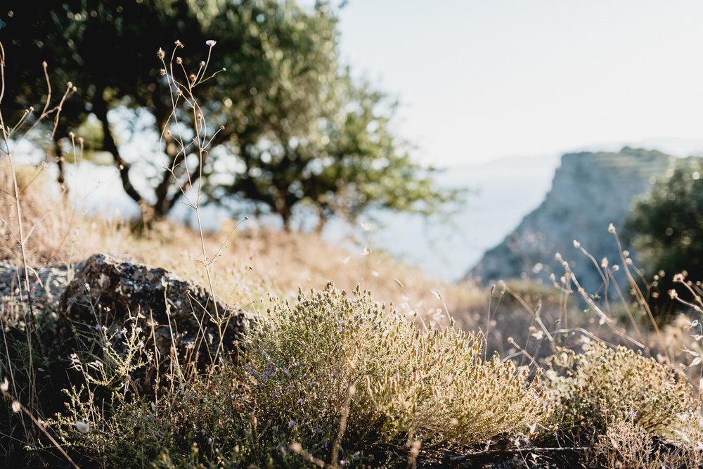 Zakynthos olive trees