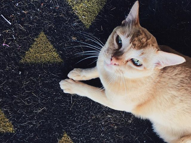 This is Biscuit aka the studio cat. He enjoys trying to get into the studio when I'm leaving, laying down and cuddles. He dislikes being locked outside and being locked inside . #cats