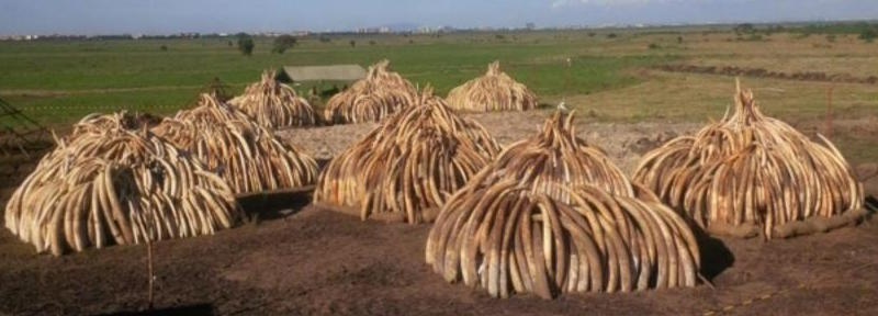 Here lie the remains of 10,000 elephants... Kenya prepares to burn 105 tonnes of ivory