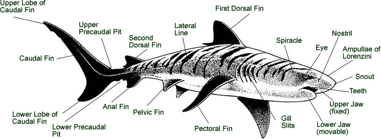 Shark Diagram Of Bottom Residential Electrical Symbols