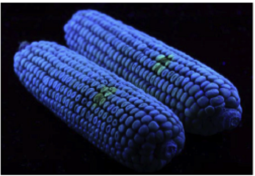Yao, H., Hruska, Z., Kincaid, R., Brown, R., Bhatnagar, D., and Cleveland, T. (June 2013). 'Detecting maize inoculated with toxigenic and atoxigenic fungal strains with fluorescence hyperspectral imagery.' Biosystems Engineering, Volume 115, Issue 2, Pages 125–135.