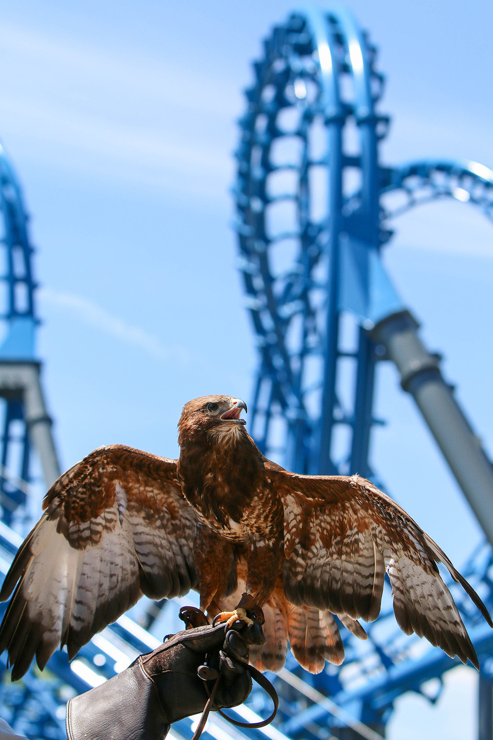 E.B., a female European buzzard or hawk, spreads her wings at the grand reopening of the Blue Hawk roller coaster on Thursday at Six Flags Over Georgia. The Air Force themed roller coaster honors the military. Staff - Emily Selby