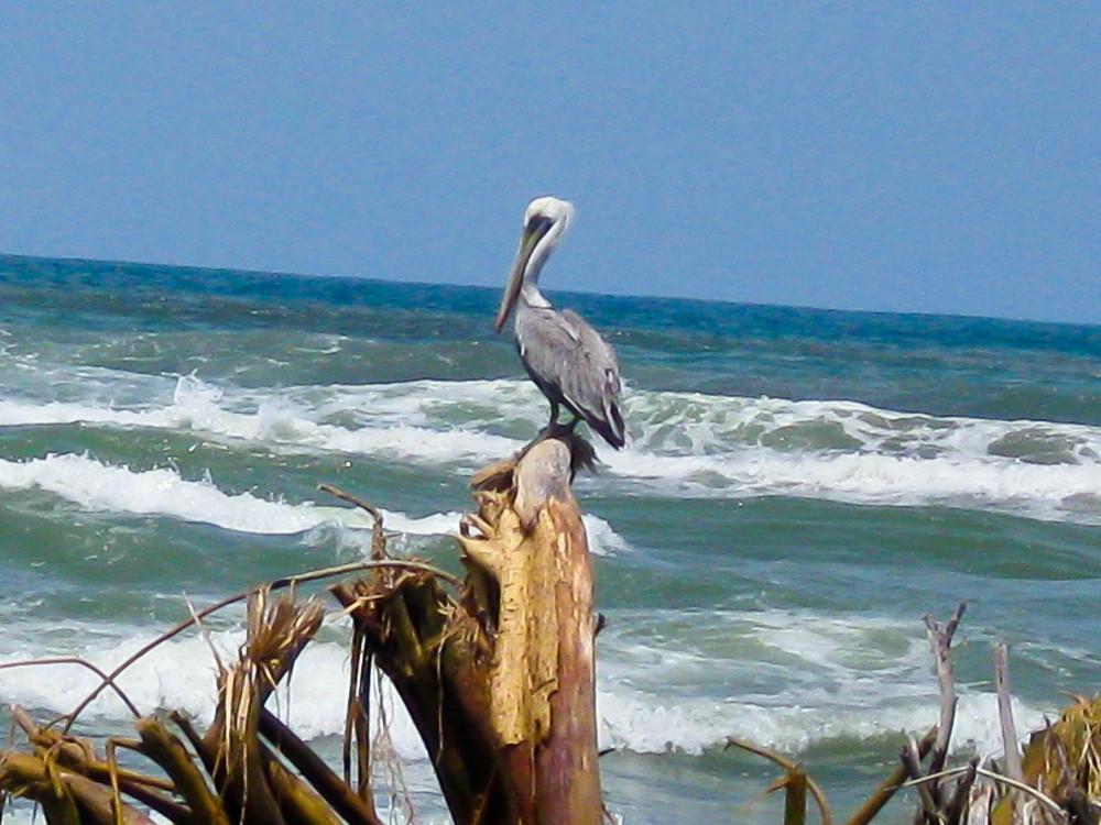 Rio Estrella pelican