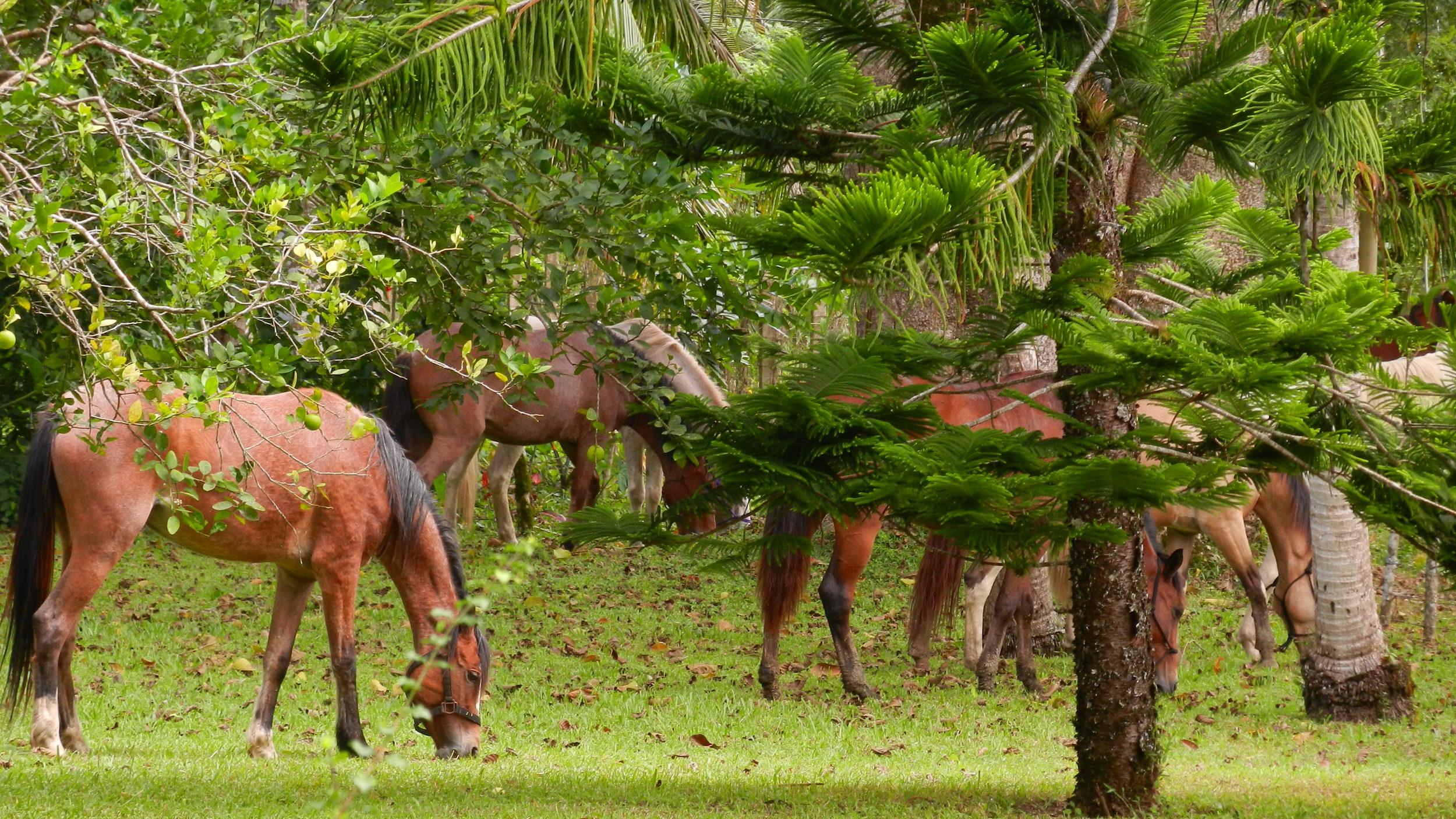 Jungle horse herd grazing