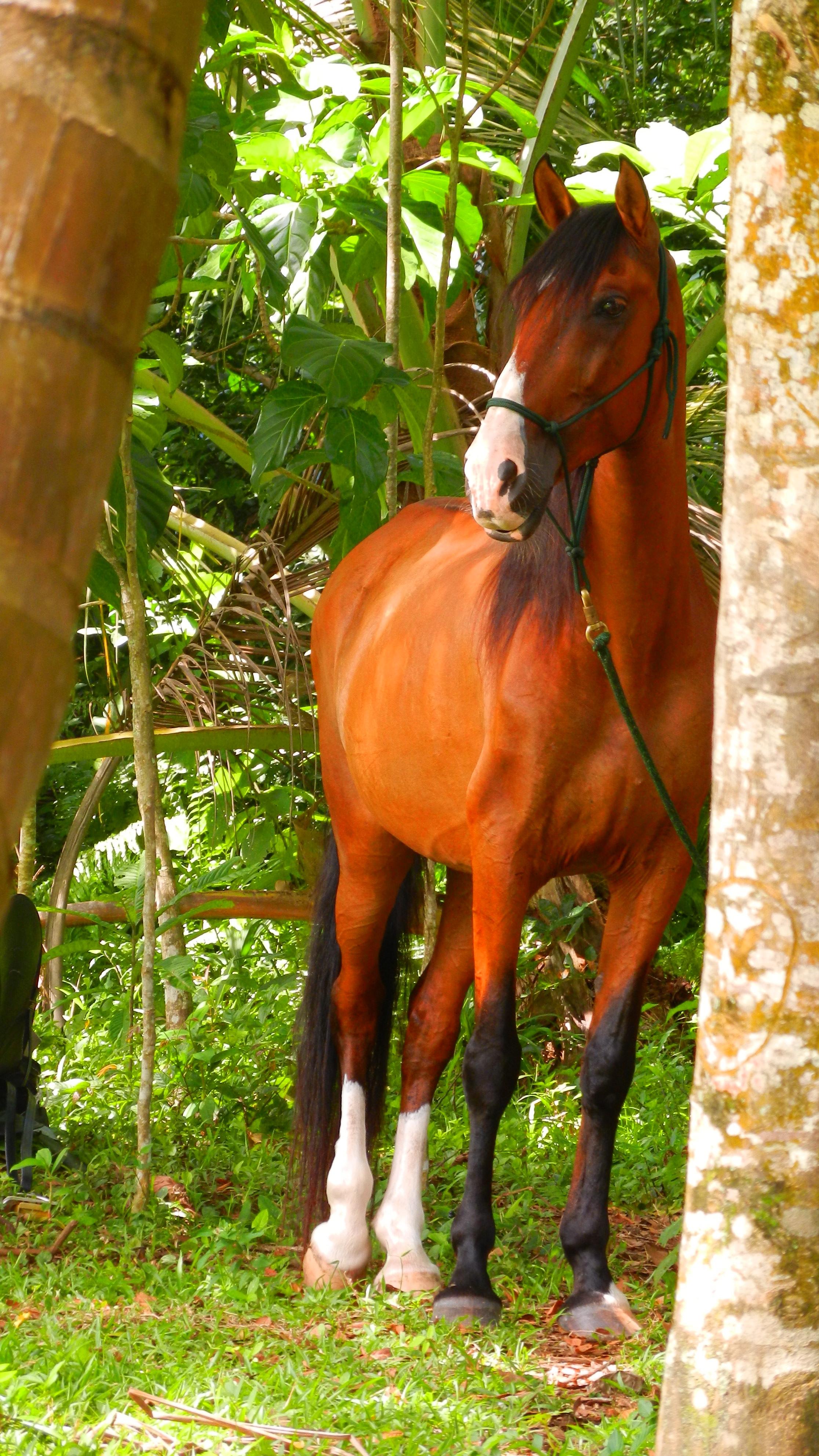 Iberian horse in Costa Rica