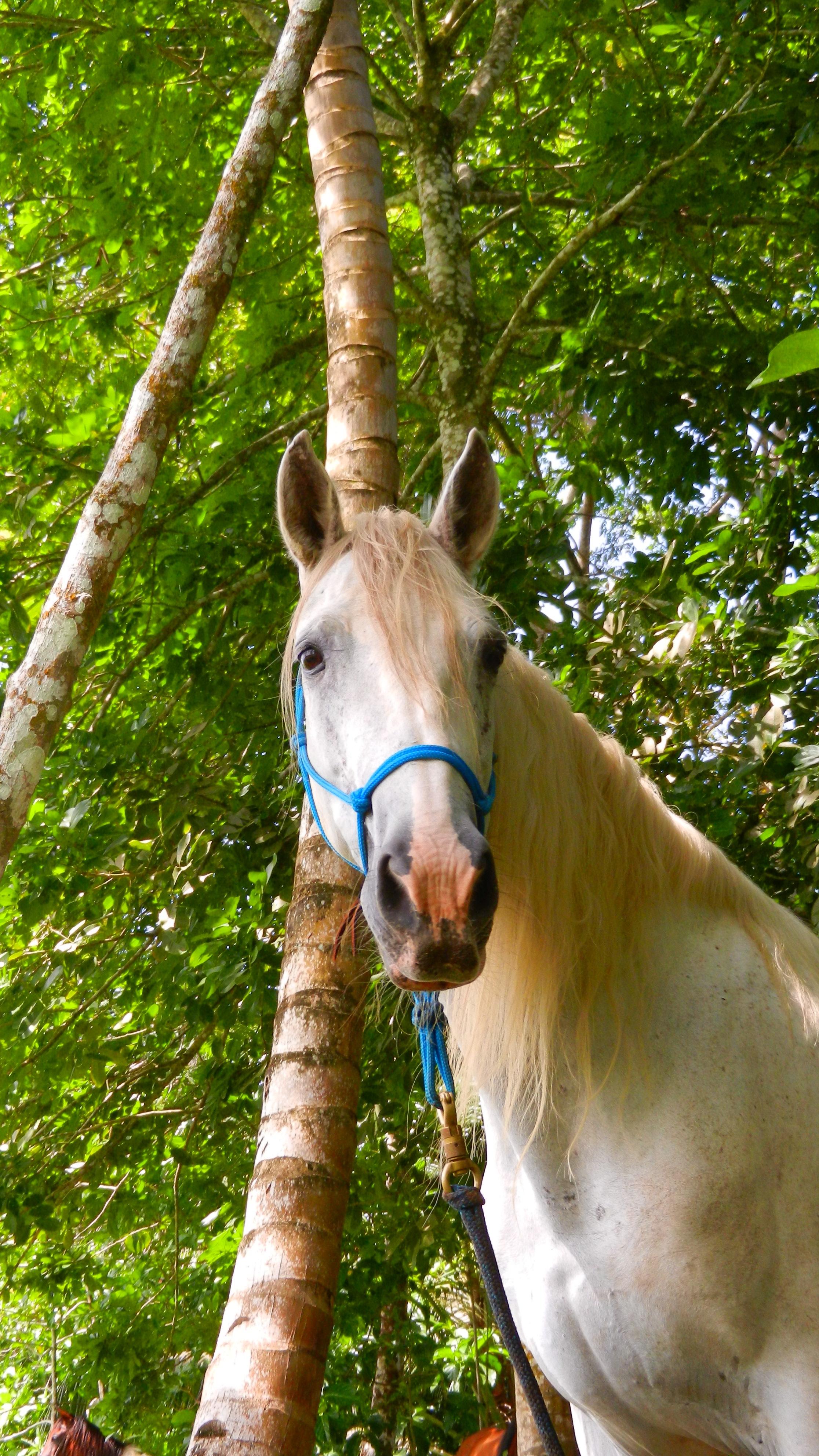 Paso Peruvian horse in Costa Rica