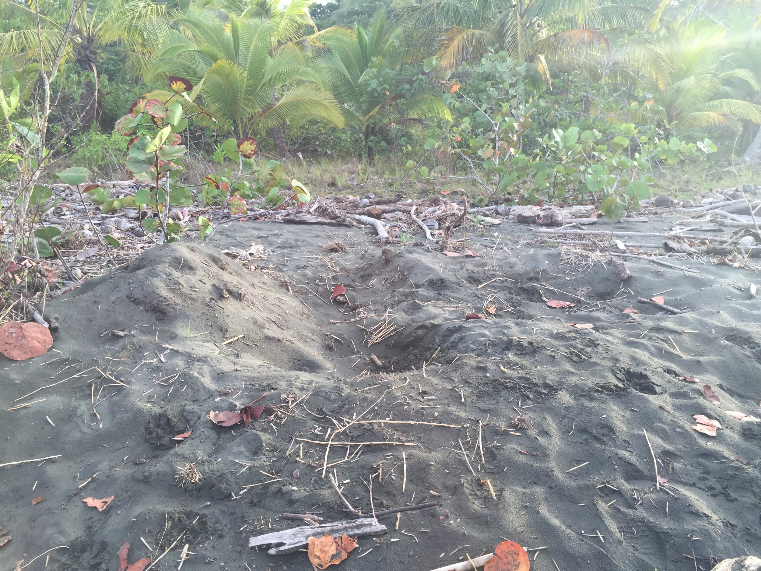 Baula turtle nest grounds