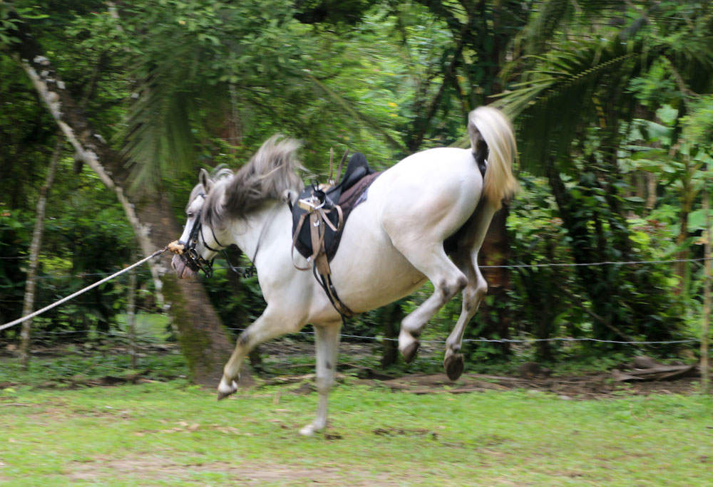 Magnus Lusitano stallion kicking for joy!